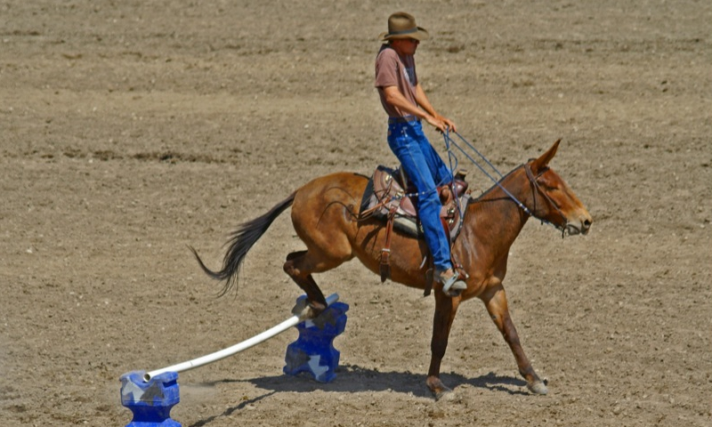 Montana Mule Days Hamilton MT