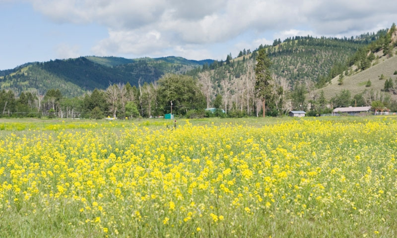 Field of Wildflowers in Lolo Montana